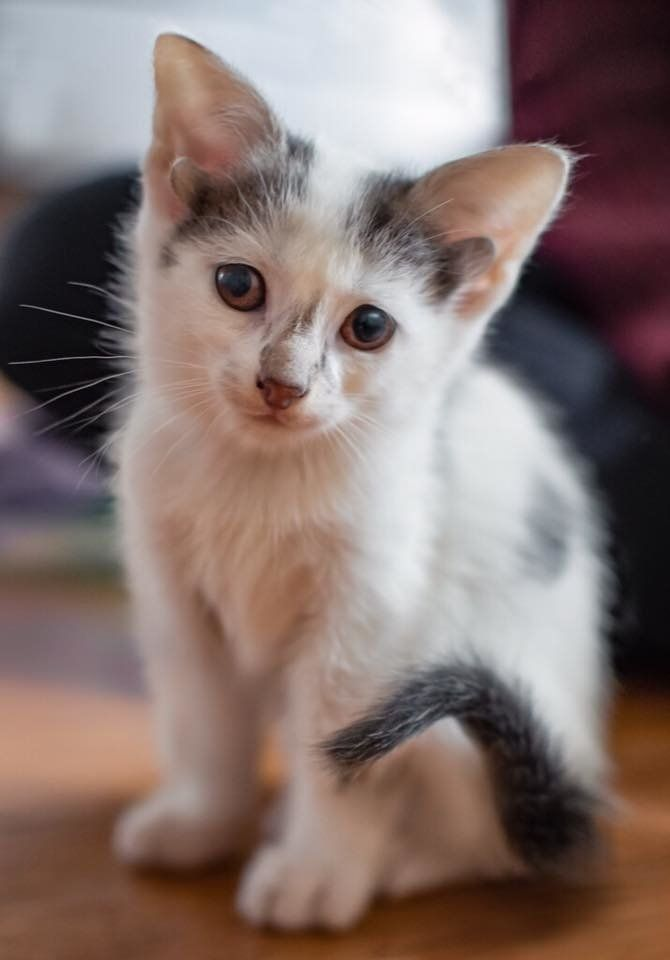 Kitten With 2 Extra Ears Born In Shelter The Same Day They Rescued