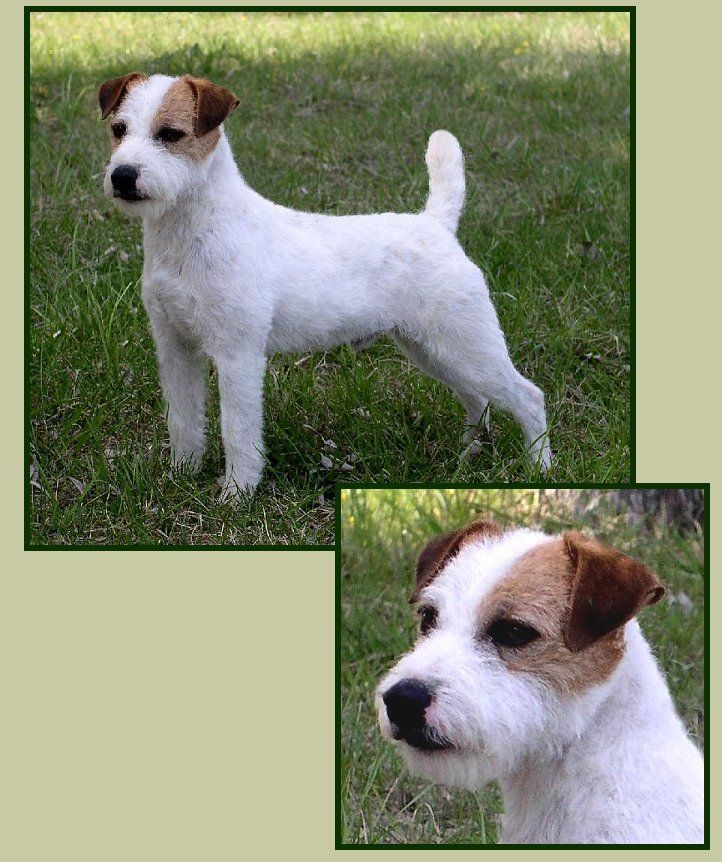 Parson Russell Terrier  1 of my two favorite terriers
