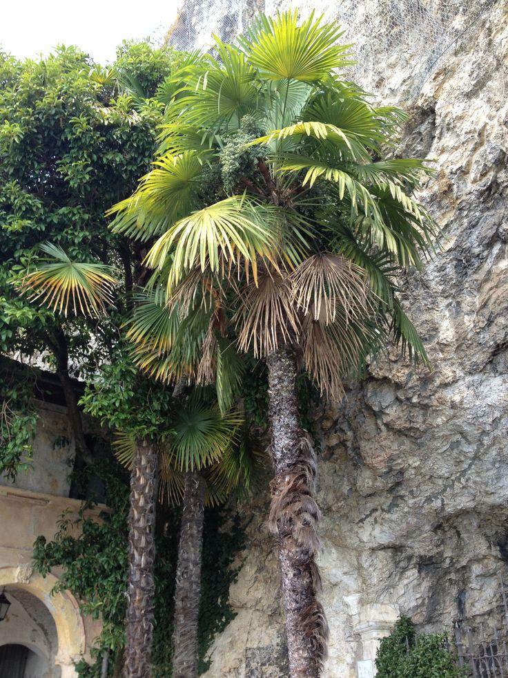 Lago maggiore palms