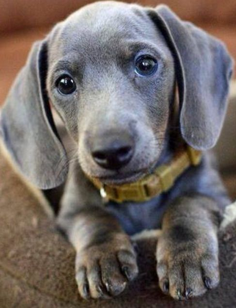 isabella dachshund dachshund pinterest beautiful grey and puppys. Black Bedroom Furniture Sets. Home Design Ideas