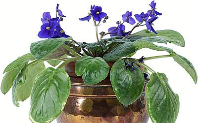 History of the First African Violets