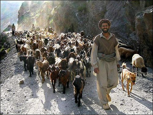 Shepherd with Goat Caravan in Chitral, Pakistan