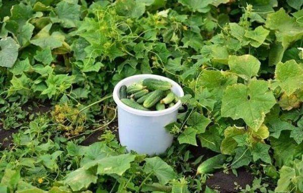 Лучшие растворы для большого урожая огурчиков