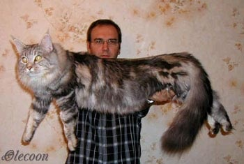 Awe he looks like my mainecoon but a little bit smaller!  Coolest cats EVER!!   # Pin++ for Pinterest #