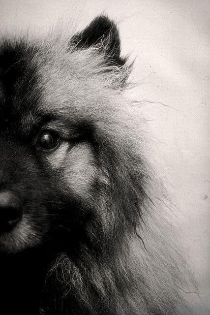 Keeshond / keeshonden / Chien Loup / German Spitz / Deutscher Wolfspitz / Wolfspitz (Similar to Großspitz, Mittelspitz, and Kleinspitz) #Puppy #Dogs