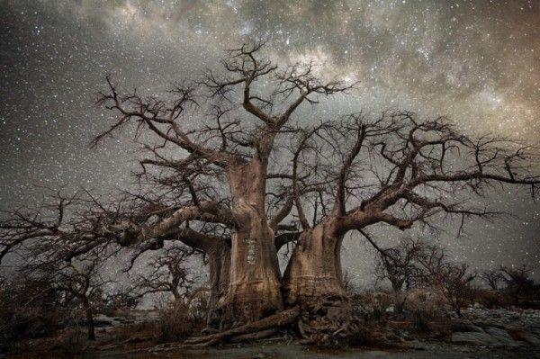 Старые африканские деревья, освещенные звезды