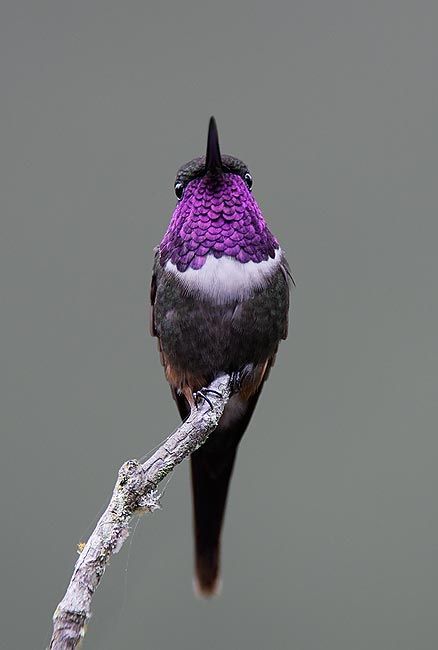 The Purple-throated Woodstar, Calliphlox Mitchellii, is a species of hummingbird, and it is one of the four Calliphlox genera, the woodstars. The species is found in Colombia and Ecuador, and a minor localized population in Panama, 600 km from its main species distribution.