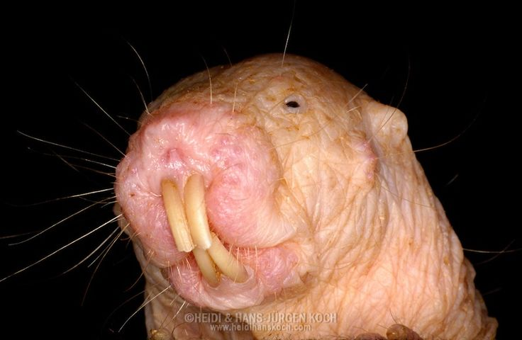 The naked mole rat is one of nearly 30 different species of mole rats. Description from all-that-is-interesting.com. I searched for this on bing.com/images