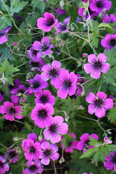 Cranesbill for sale buy Geranium 'Dragon Heart' 13.00 Plant delights nursery Z 5-7 24'' tall full sun long bloom time