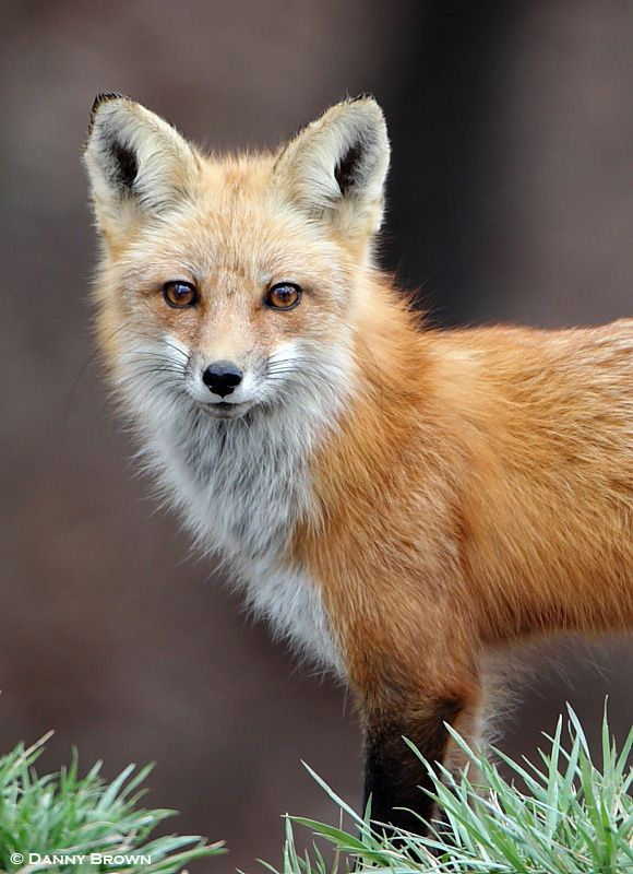 Red Fox by Danny Brown on 500px*