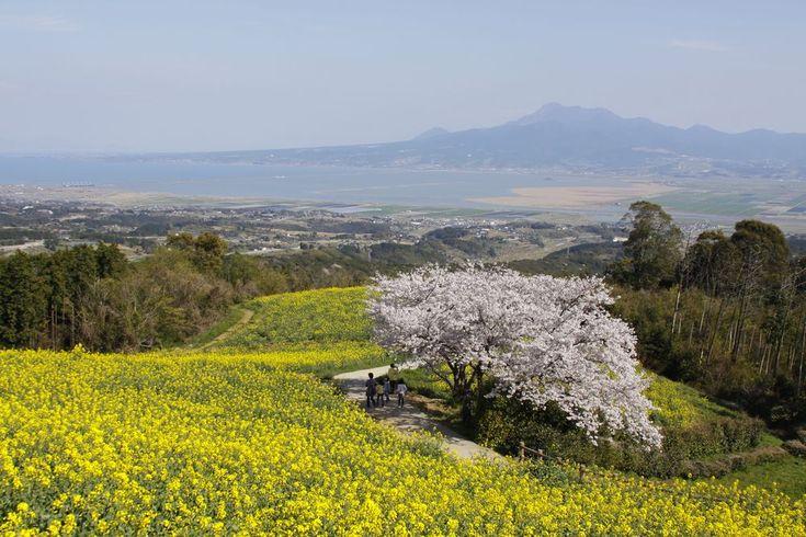 「白木峰(しらきみね)高原」。長崎県諫早市の知る人ぞ知る競演名所です。  山肌を埋めつくす10万本の菜の花の黄色に桜の薄紅色、そして遥か遠くに望む有明湾の淡い青色。三色のコントラストを楽しみながらさらに遠方に目をやると、雲仙普賢岳の勇壮な姿も。海、山、花のコラボレーションは他の景勝地の追随を許しません。