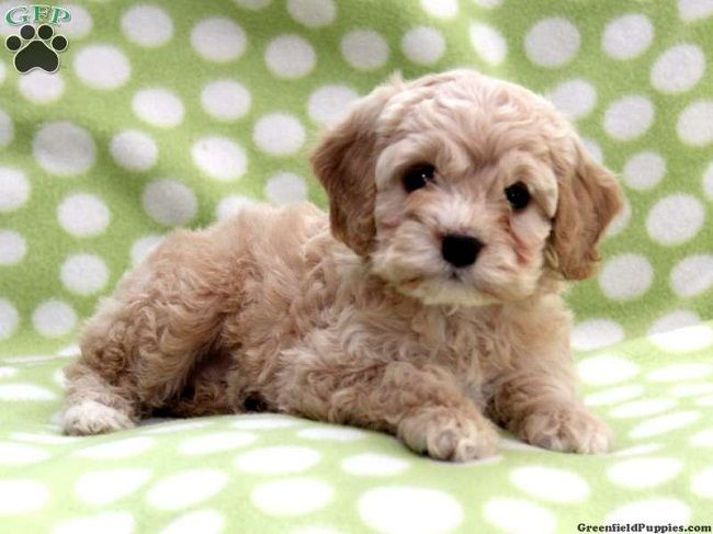 teacup cockapoo puppies for sale | Zoe Fans Blog