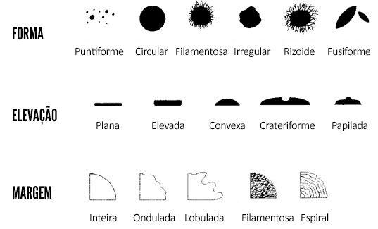 Descrição morfológica de colônias em microbiologia   Biomedicina Padrão