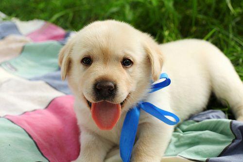 It's so adorable!: Labrador Retriever, Cute Animal, Little Puppies, Baby Boys, Crazy Animal, Labs Puppies, Happy Puppies, Christmas Gifts, Golden Retriever