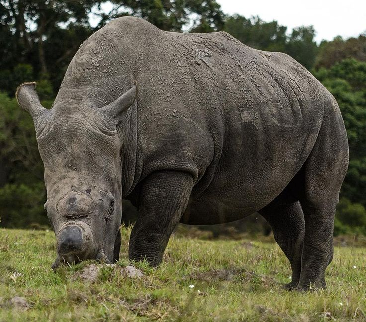 Power strength and a bad attitude. That's rhino for you. #portelizabeth #easterncape #southafrica #game #nature #rhino