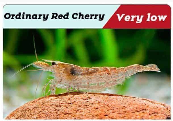 Red Cherry Shrimp Grading With Pictures Shrimp And Snail Breeder In 2020 Red Cherry Shrimp Cherry Shrimp Tropical Fish Aquarium