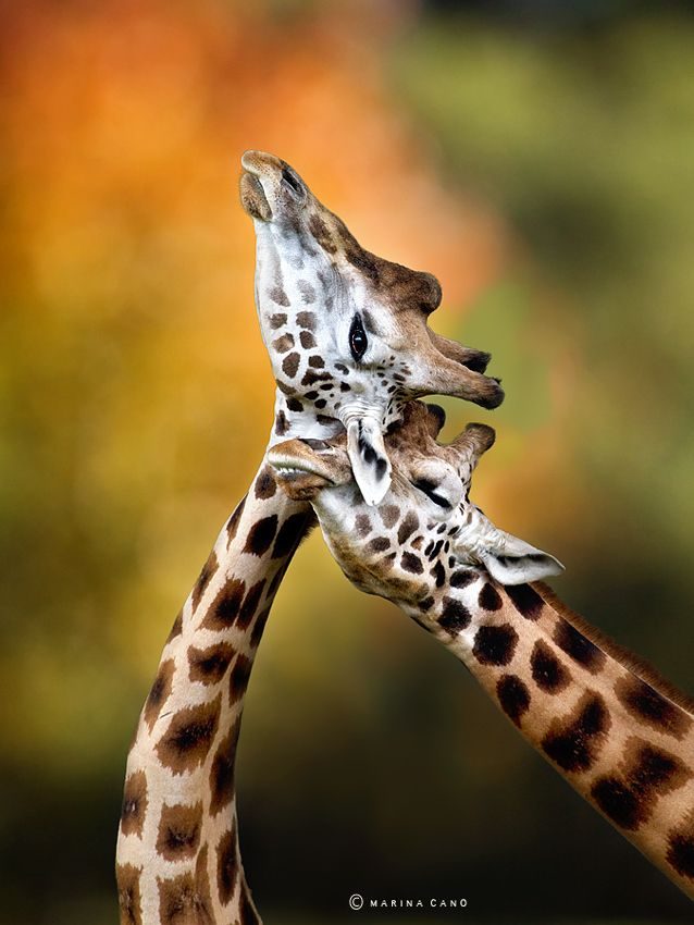 Giraffes necking at Cabarceno. The largest wildlife park in Europe.  Photography by Marina Cano