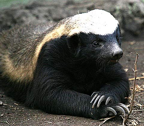 Honey badger - Love these little guys! They're fearless, tenacious, intelligent and playful.