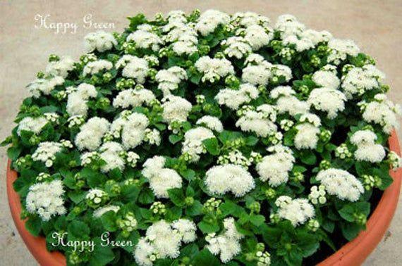 Floss Flower Dwarf White 2000 Seeds Ageratum Houstonianum In 2020 Flower Seeds Flowers Types Of Soil
