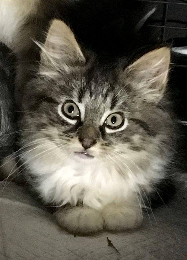 Adopt Samantha On Petfinder Cat Adoption Help Homeless Pets Homeless Pets