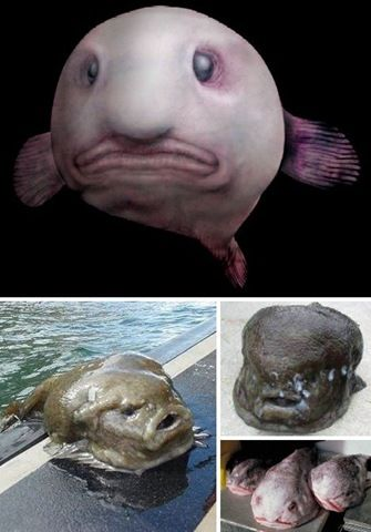 The scientific name of blob fish is Psychrolutes marcidus, mainly living in deep water along the coast of Australia and Tasmania which are rarely found by humans.