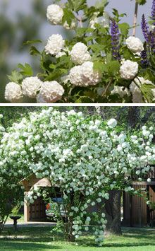 Snowball Bushes will create a beautiful spring and fall display in any landscape. In the late spring, this deciduous shrub will be covered with masses of pure white snow-ball like flower clusters and its leaves turn purplish red before dropping in the fall.