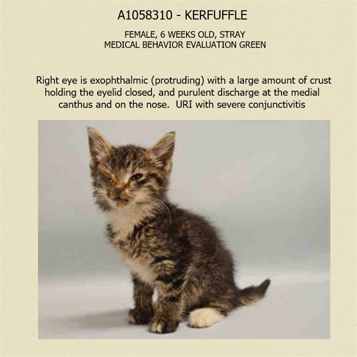 Kerfuffle A1058310 Nyc Ac C Urgent Cats Animal Abuse Awareness Animal Stories Cat Person