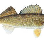 Walleye Rybárske tipy