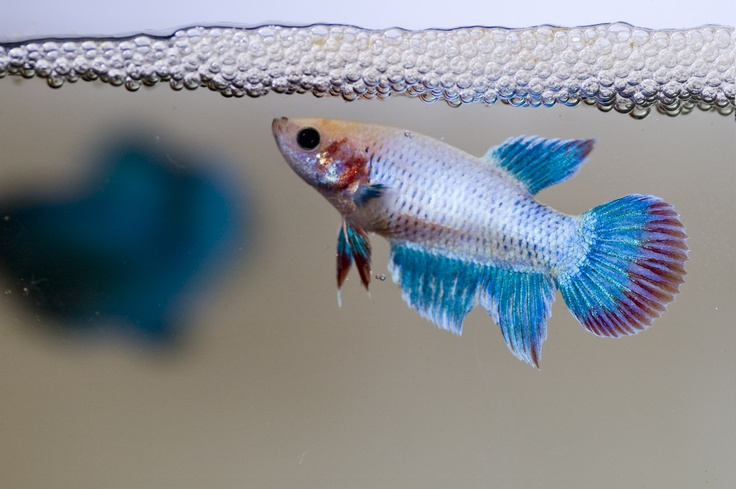 A siamese female fighting fish guarding her newly laid for Why do betta fish fight