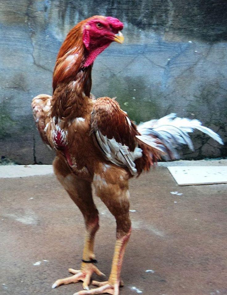 Galo indio gigante chicken