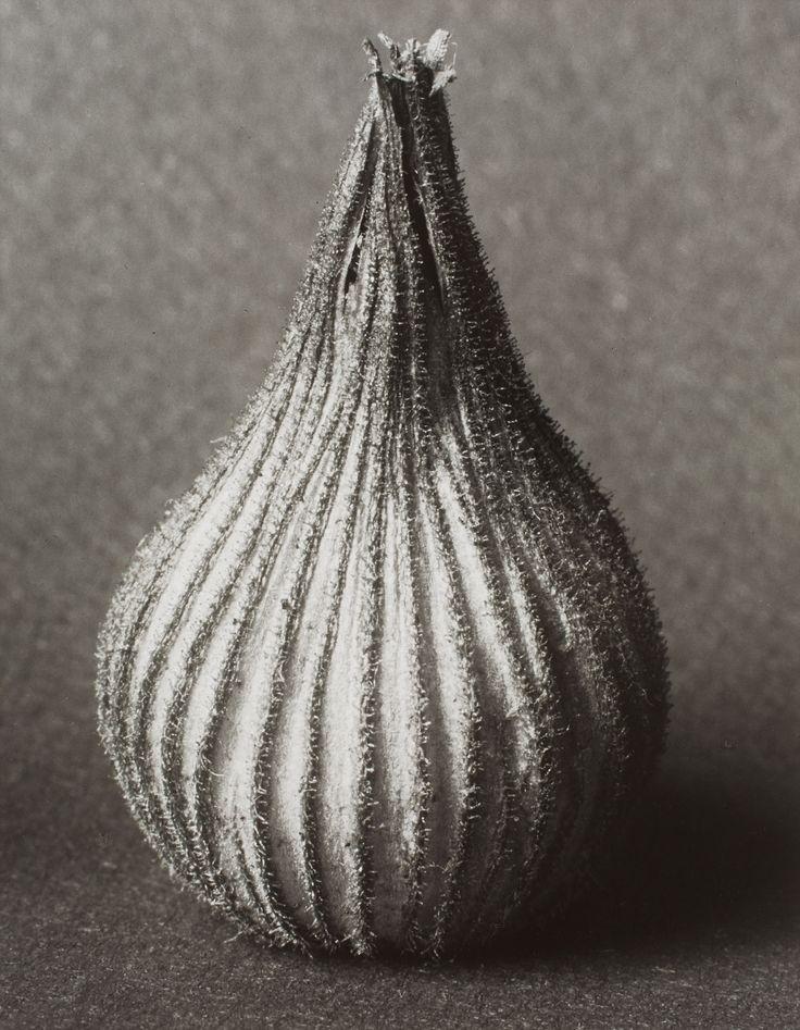 Karl Blossfeldt, Silene conica (sand catchfly), Before 1928