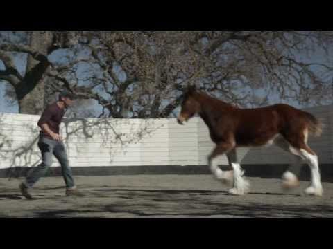 Budweiser Clydesdales Horse Super Bowl Commercial 2013