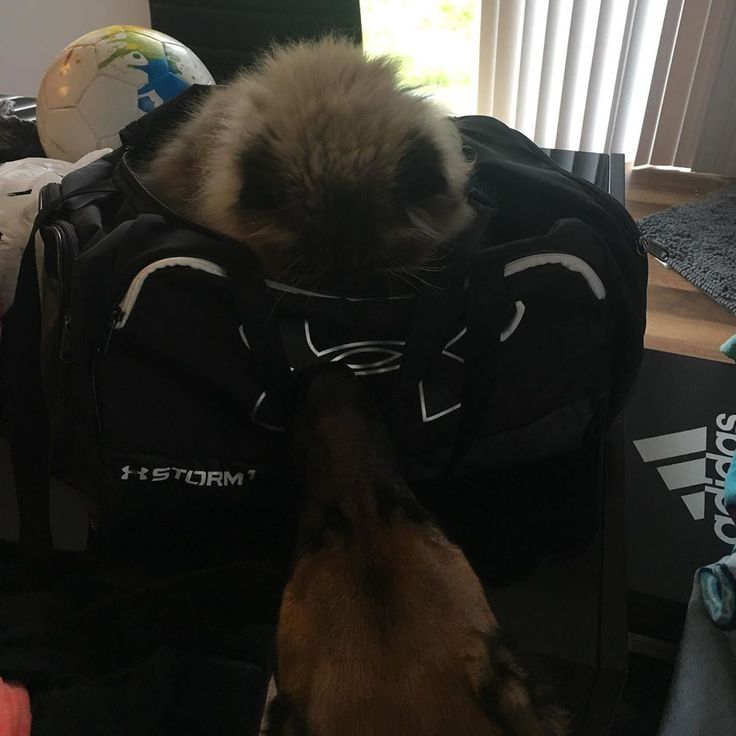 CoCo and Karma being ever so helpful with packing the soccer bag😂🤪 pets  dog  cat  animal  dogsofinstagram  catsofinstagram  germanshepard  ragd…