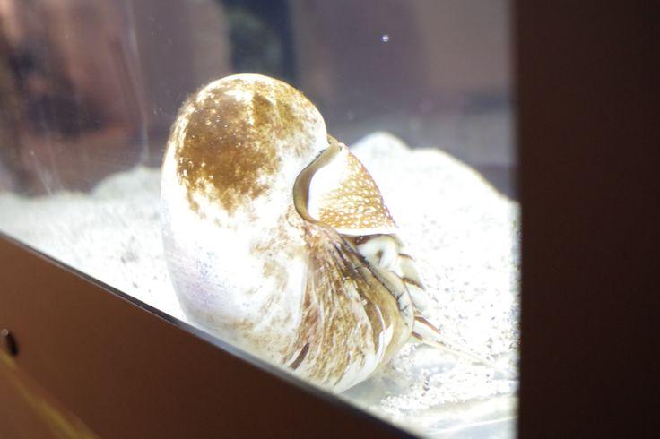 オウムガイ(越前松島水族館)