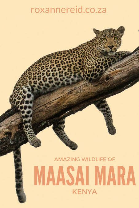 The amazing wildlife of Kenya's Maasai Mara reserve #safari