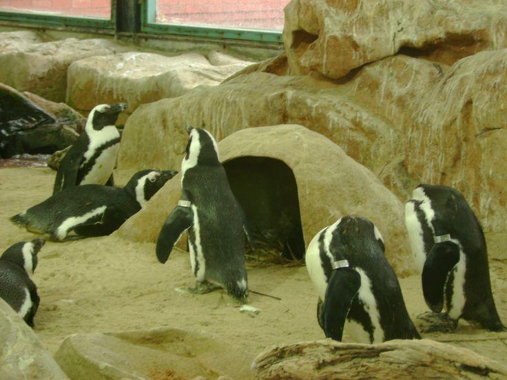 PENGUINS - Two Oceans Aquarium - Cape Town - South Africa
