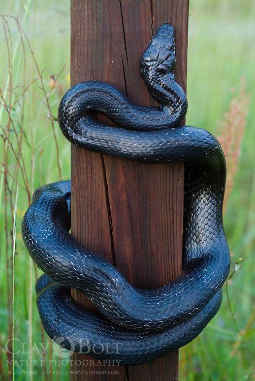 Black Rat Snake, Elaphe obsoleta obsoleta, climbing to blue bird ...