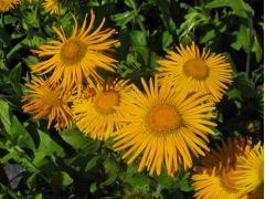 Inula helenium - oman Zahradnictví Krulichovi - zahradnictví, květinářství, trvalky, skalničky, bylinky a koření