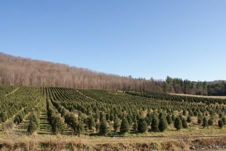 Purinton Christmas Tree Farm has really beautifully pruned trees and a LOT of them! Trees are $35 each, no matter what size you pick. The largest ones are approximately 9ft high. They also have wreaths, kissing balls and maple syrup for sale.  | Huntington, VT
