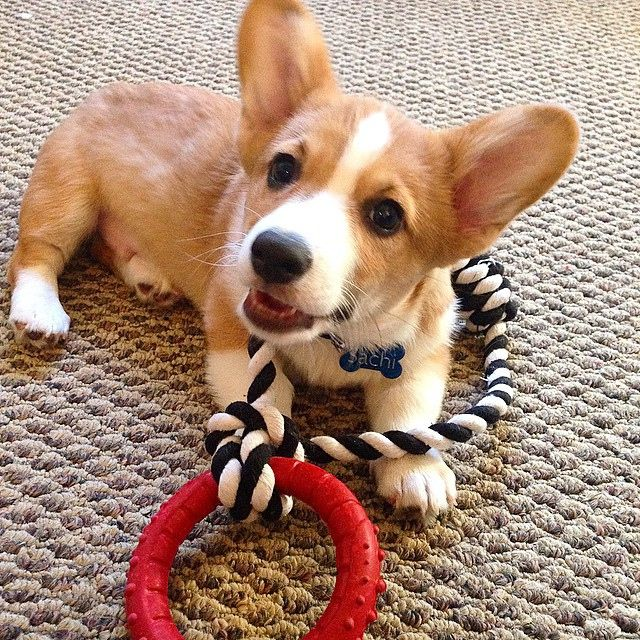 Cute Corgi Puppy Cute Corgi Puppies Funny Corgi Puppy Funny Corgi