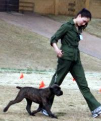 How to train your cane corso from a puppy! A must read!