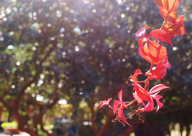 Beautiful, red leaves in a sunny fall morning! (Agriturismo Villa Clementina, CORI, LT - Italy)