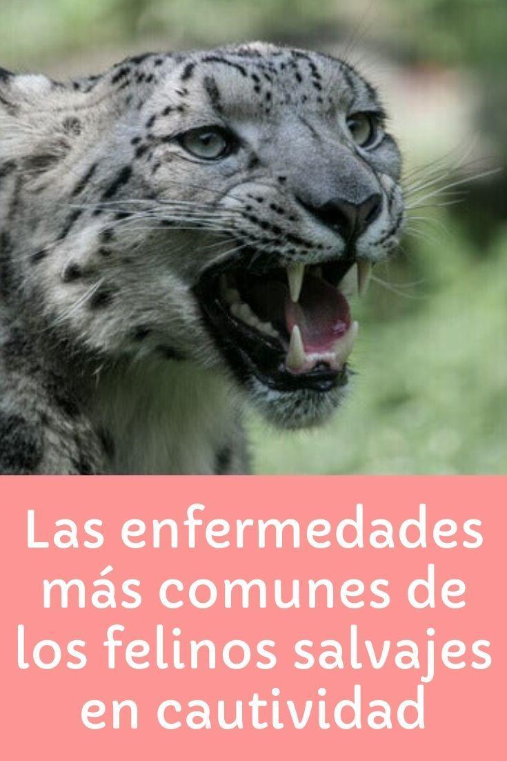 Felinos Salvajes En Cautividad Enfermedades Mis Animales Felinos Salvajes Animales Carnivoros Felinos