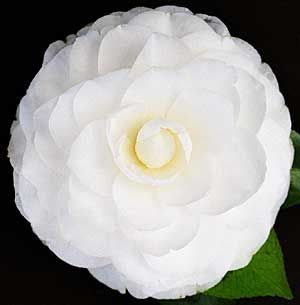 Large FORMAL DOUBLE.     White blooms with up to ten tiers of rounded petals.     Medium upright habit.     Flowering early June to mid-September.     Requires semi-shade, no direct sun before 12 noon on a winter's day when flowering.     Suitable for growing in pots.