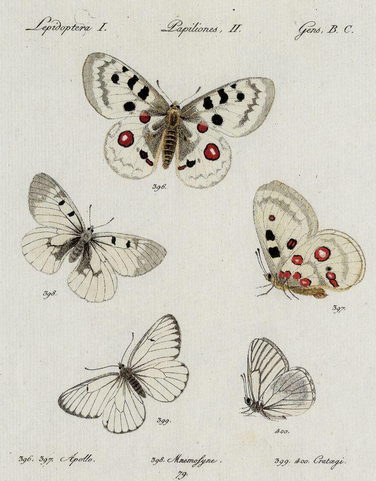 Butterfly illustration by Jacob Hübner (1796). Wikimedia.
