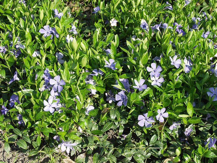 Vinca minor, vintergröna. Mattbildande med blanka vintergröna blad. Blommar blått i maj-juni. Trivs i halvskuggiga lägen. Bild: Taimistoviljelijät