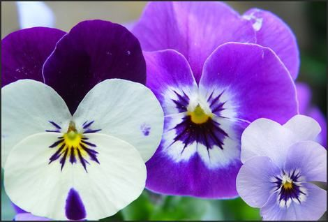 Deze foto gaat over dat het jaar begon met allerlei bloemen, een van deze bloemen waren viooltjes.
