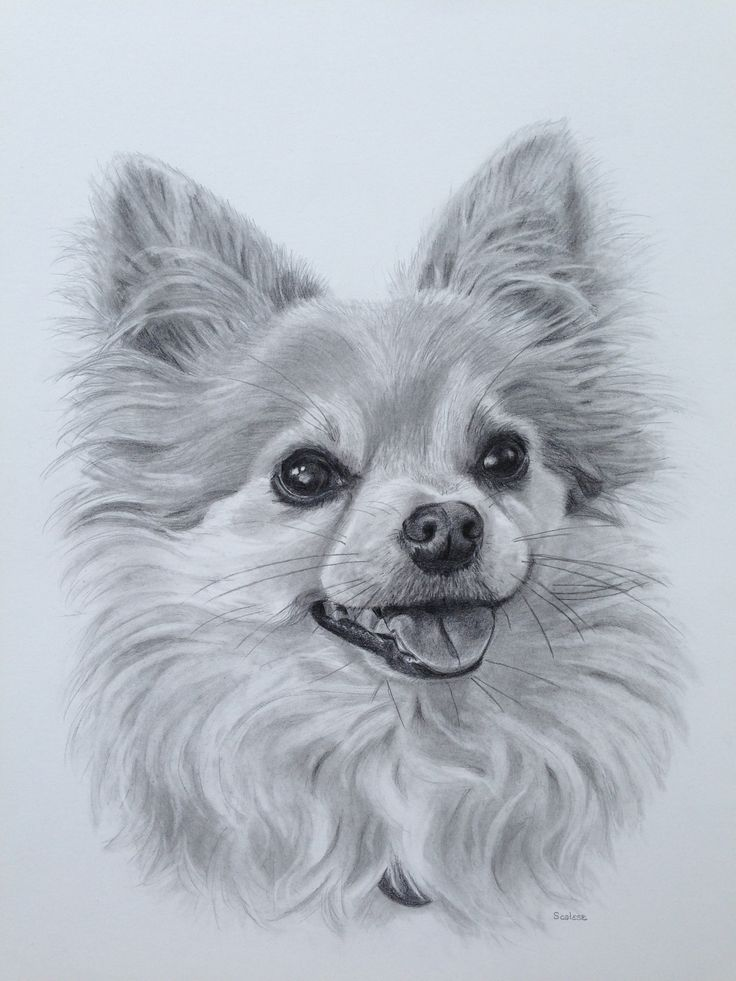 """""""Peanut"""", 11 x 14 pencil drawing"""