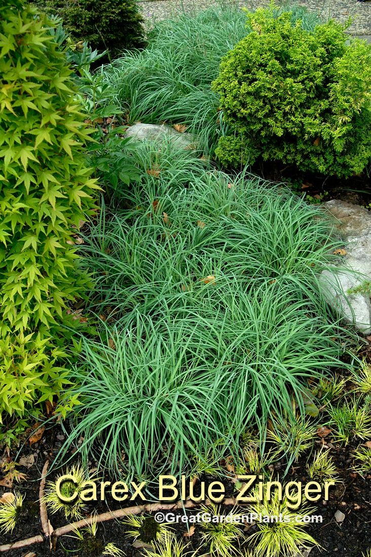 17 best images about ground cover plants on pinterest for Can ornamental grasses grow in shade
