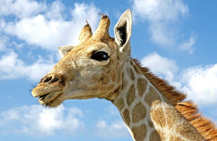 Jonge giraffe in Namibië.